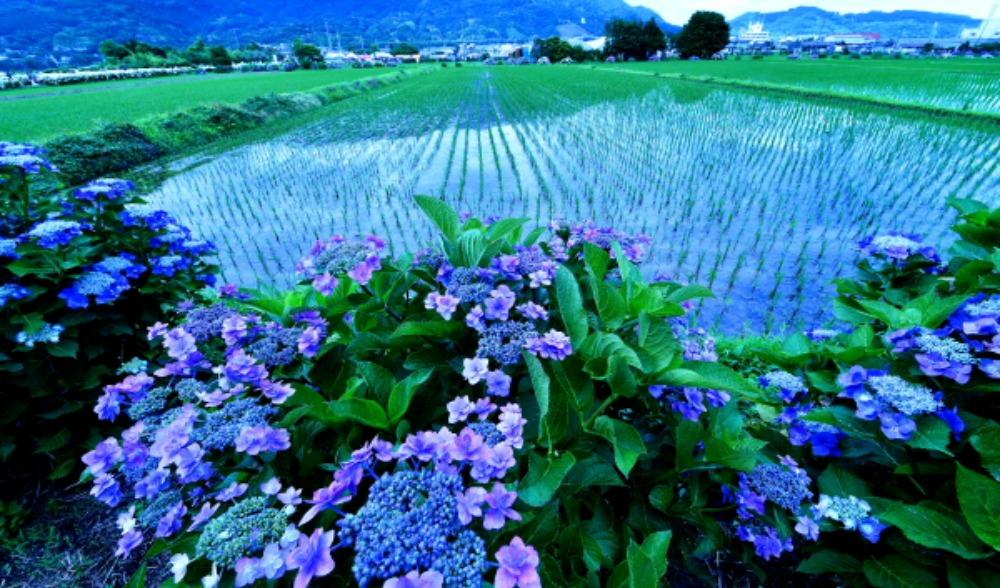 足柄上郡紫陽花祭り                            画像をクリックして見てください_a0150260_2201661.jpg