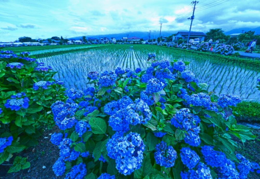 足柄上郡紫陽花祭り                            画像をクリックして見てください_a0150260_220431.jpg