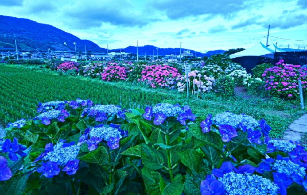 足柄上郡紫陽花祭り                            画像をクリックして見てください_a0150260_22179.jpg