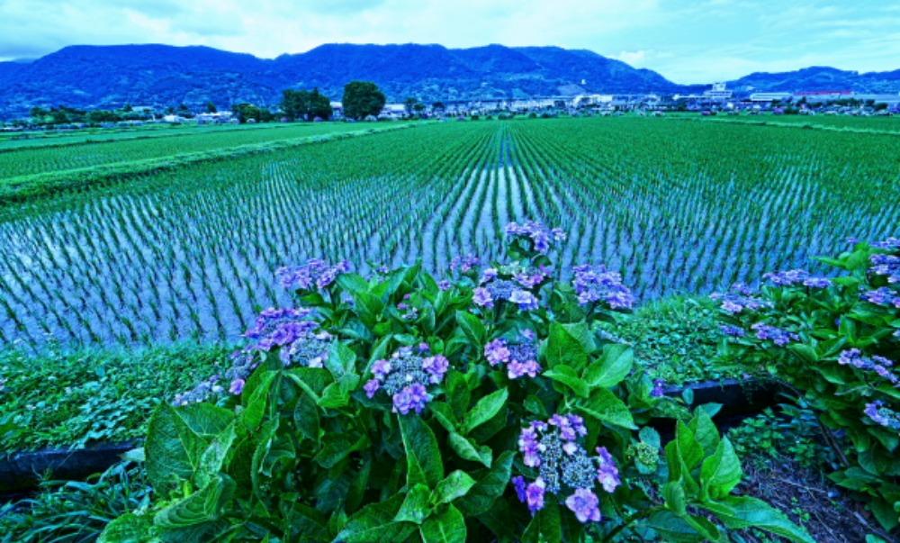 足柄上郡紫陽花祭り                            画像をクリックして見てください_a0150260_2221181.jpg