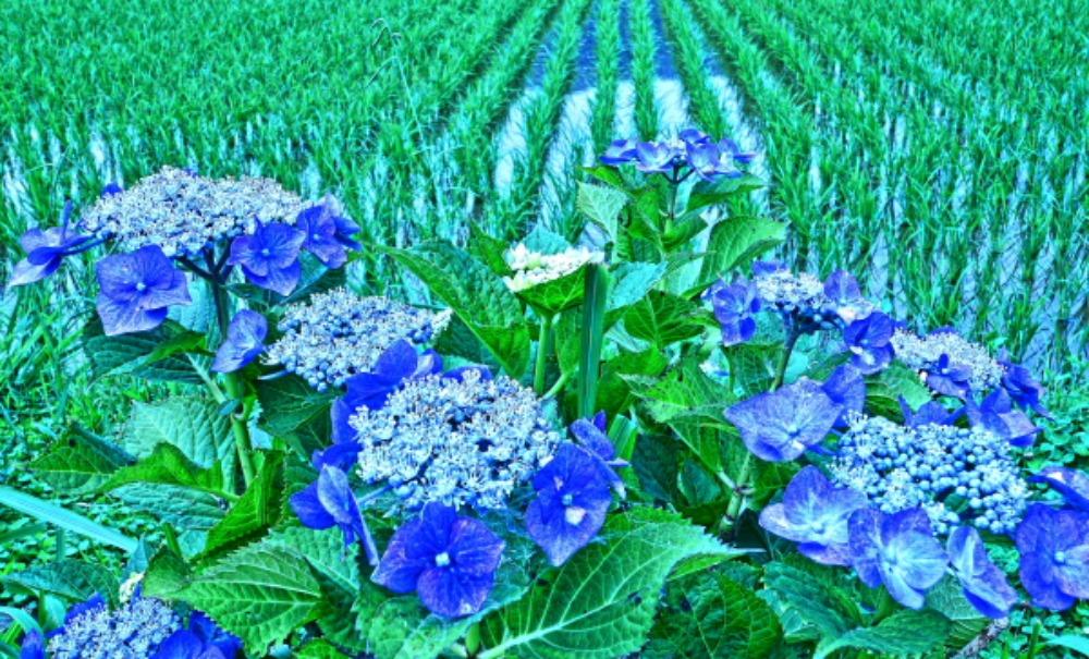 足柄上郡紫陽花祭り                            画像をクリックして見てください_a0150260_2224298.jpg