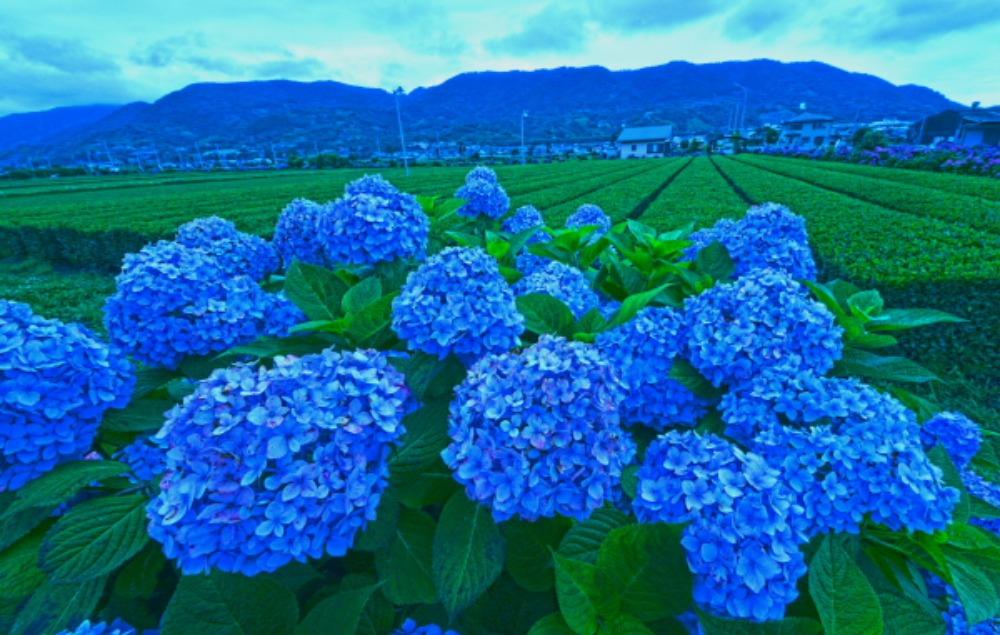 足柄上郡紫陽花祭り                            画像をクリックして見てください_a0150260_223511.jpg