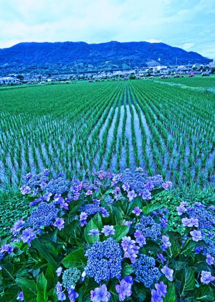 足柄上郡紫陽花祭り                            画像をクリックして見てください_a0150260_231261.jpg