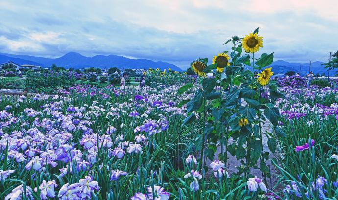 足柄上郡紫陽花祭り                            画像をクリックして見てください_a0150260_2324174.jpg