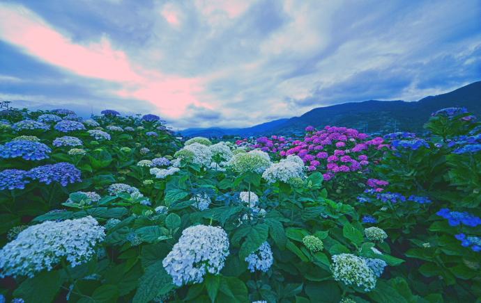 足柄上郡紫陽花祭り                            画像をクリックして見てください_a0150260_523411.jpg
