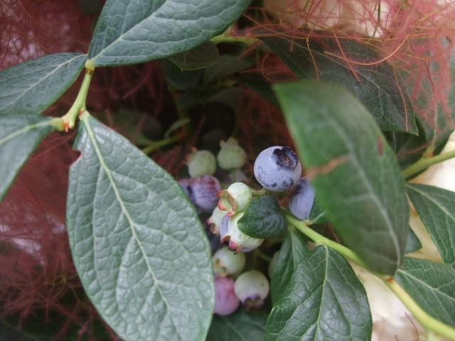 オークリーフ(紅いスモークツリーと白い紫陽花の花束)_f0049672_14292353.jpg