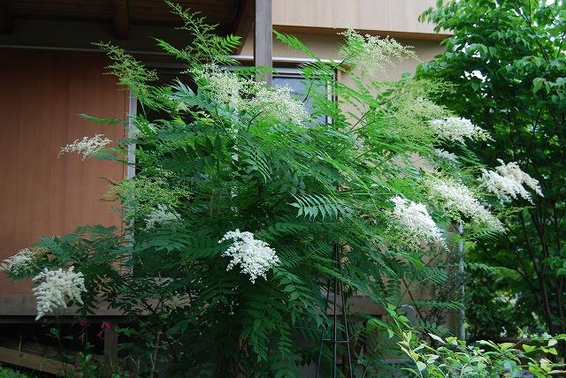 常緑ヤマボウシ/ニワナナカマド 2013_c0124100_1524653.jpg