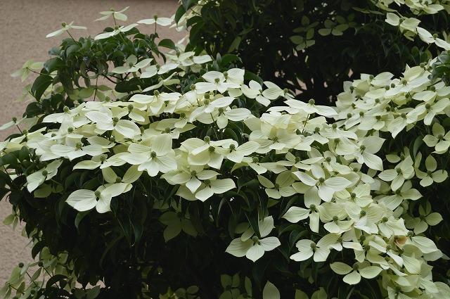 常緑ヤマボウシ/ニワナナカマド 2013_c0124100_1574836.jpg