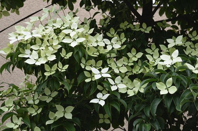 常緑ヤマボウシ/ニワナナカマド 2013_c0124100_1575951.jpg