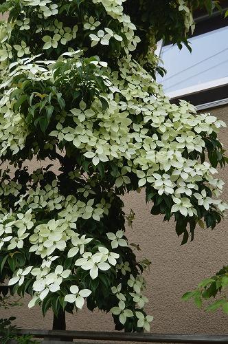 常緑ヤマボウシ/ニワナナカマド 2013_c0124100_1581342.jpg