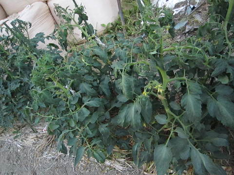 雨乞い家庭菜園_e0115904_1052223.jpg