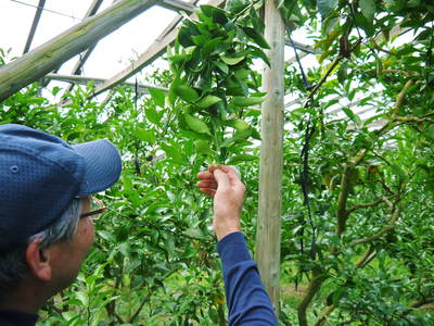 デコポン(肥後ポン) 果樹全体のバランスを見て「0」を作る匠の技_a0254656_15403360.jpg