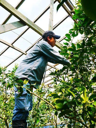 デコポン(肥後ポン) 果樹全体のバランスを見て「0」を作る匠の技_a0254656_15511273.jpg