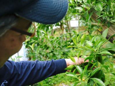 デコポン(肥後ポン) 果樹全体のバランスを見て「0」を作る匠の技_a0254656_159762.jpg