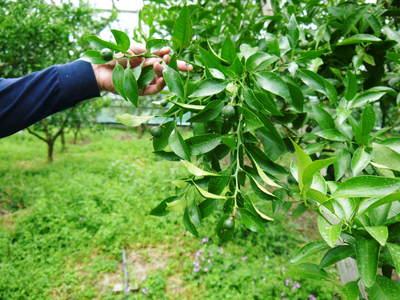 デコポン(肥後ポン) 果樹全体のバランスを見て「0」を作る匠の技_a0254656_161273.jpg