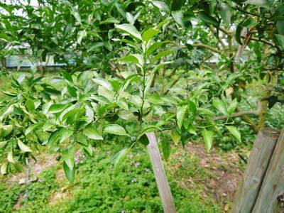 デコポン(肥後ポン) 果樹全体のバランスを見て「0」を作る匠の技_a0254656_16164895.jpg