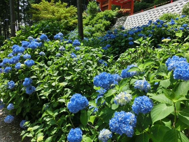 三室戸寺の紫陽花_f0178060_18494635.jpg