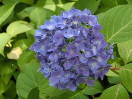 三室戸寺の紫陽花_f0178060_18504393.jpg