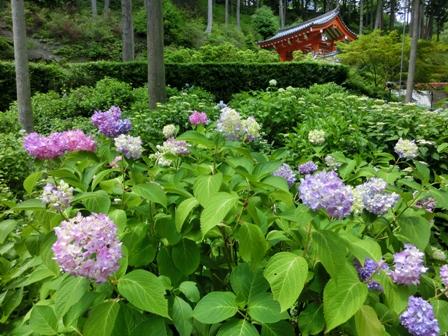 三室戸寺の紫陽花_f0178060_18533849.jpg