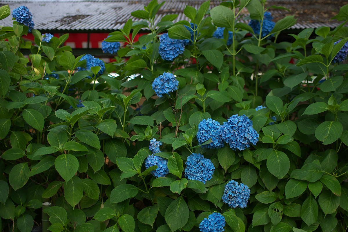 紫陽花 2013 <藤森神社> _f0021869_2328266.jpg