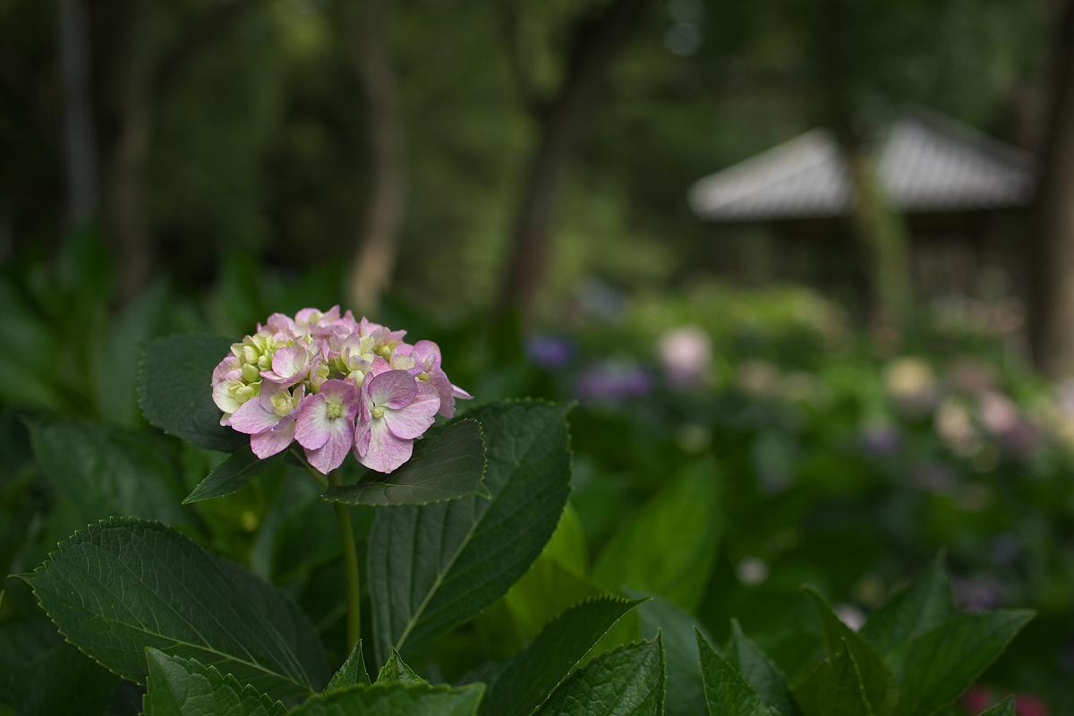 紫陽花 2013 <藤森神社> _f0021869_23283280.jpg