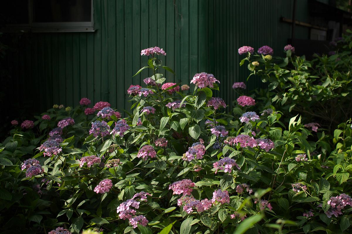紫陽花 2013 <藤森神社> _f0021869_23284021.jpg
