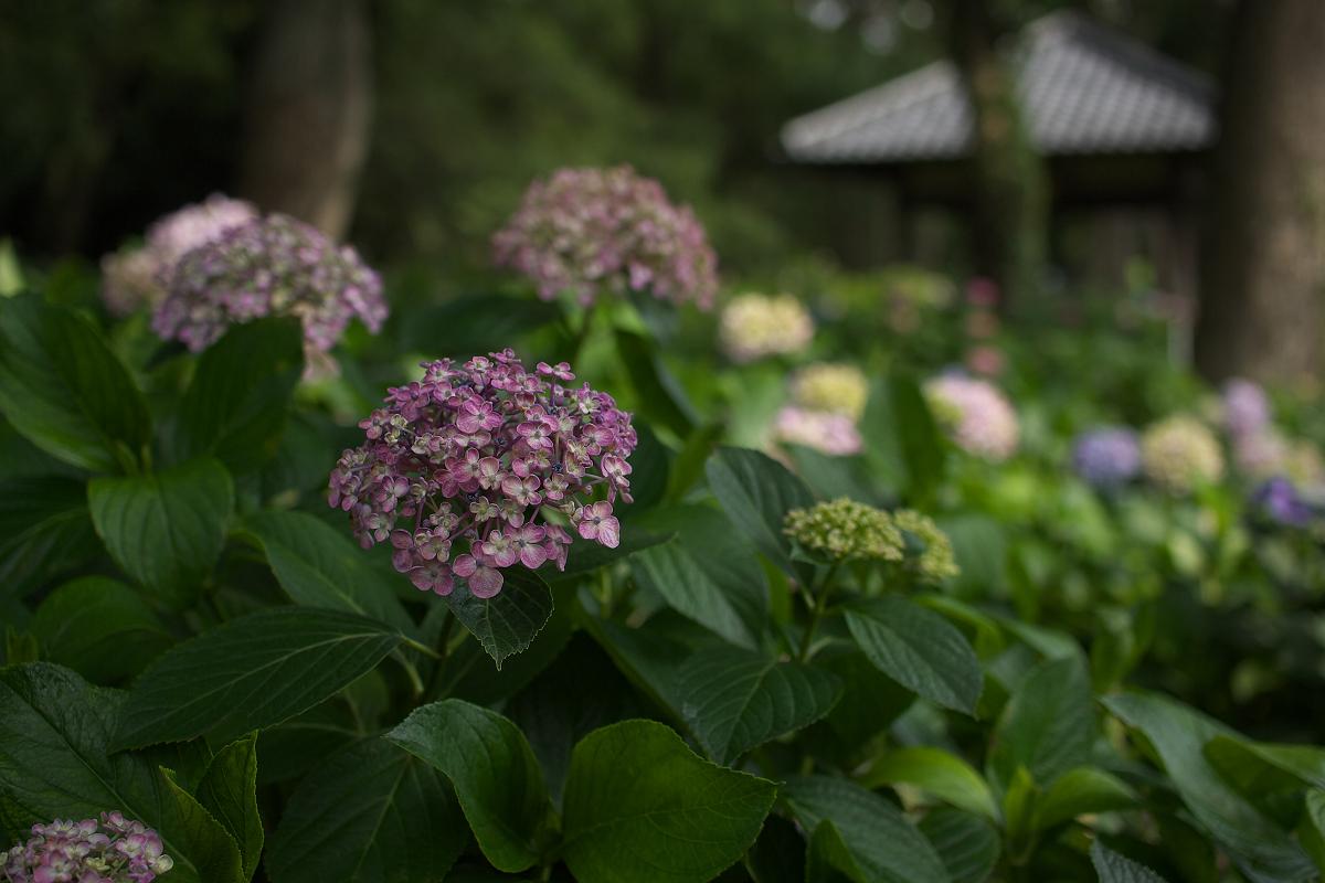 紫陽花 2013 <藤森神社> _f0021869_23285747.jpg