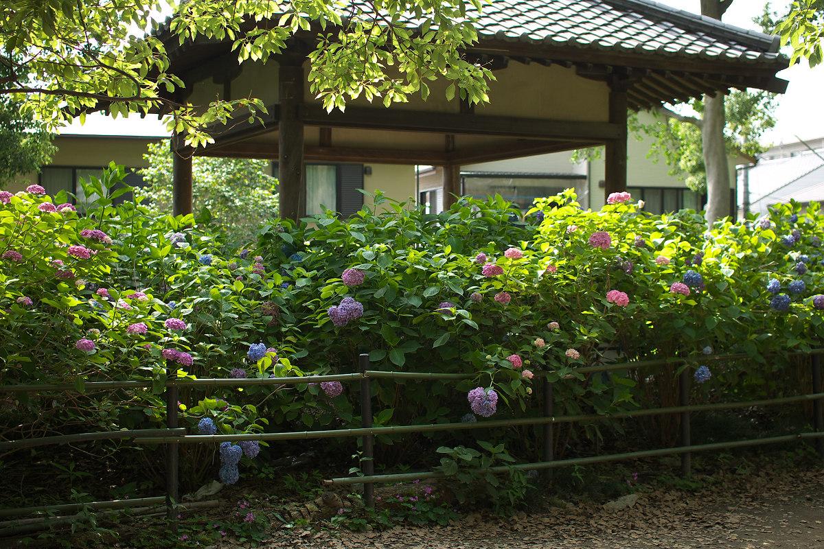 紫陽花 2013 <藤森神社> _f0021869_23293142.jpg