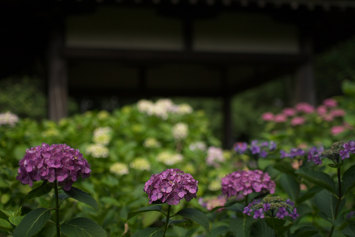 紫陽花 2013 <藤森神社> _f0021869_23294448.jpg