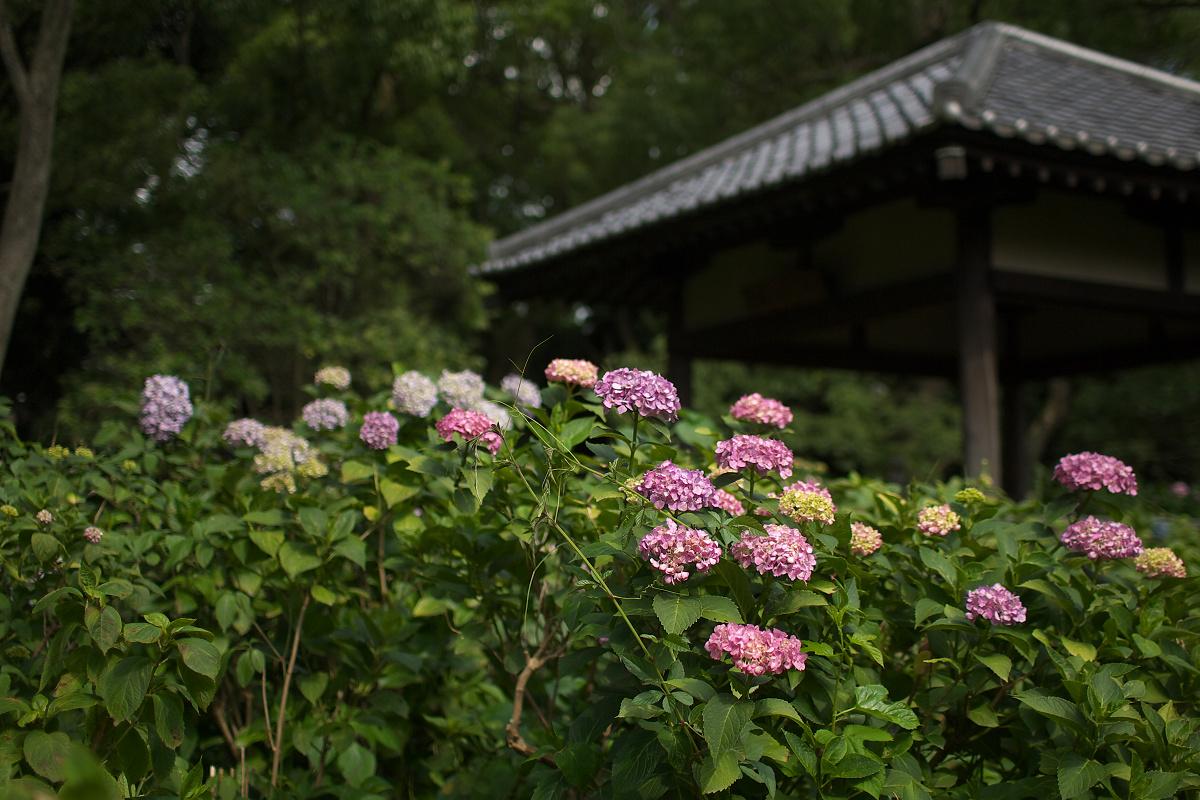紫陽花 2013 <藤森神社> _f0021869_2329477.jpg