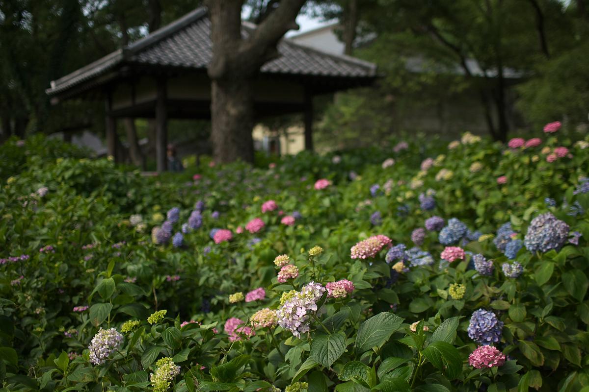 紫陽花 2013 <藤森神社> _f0021869_23295036.jpg