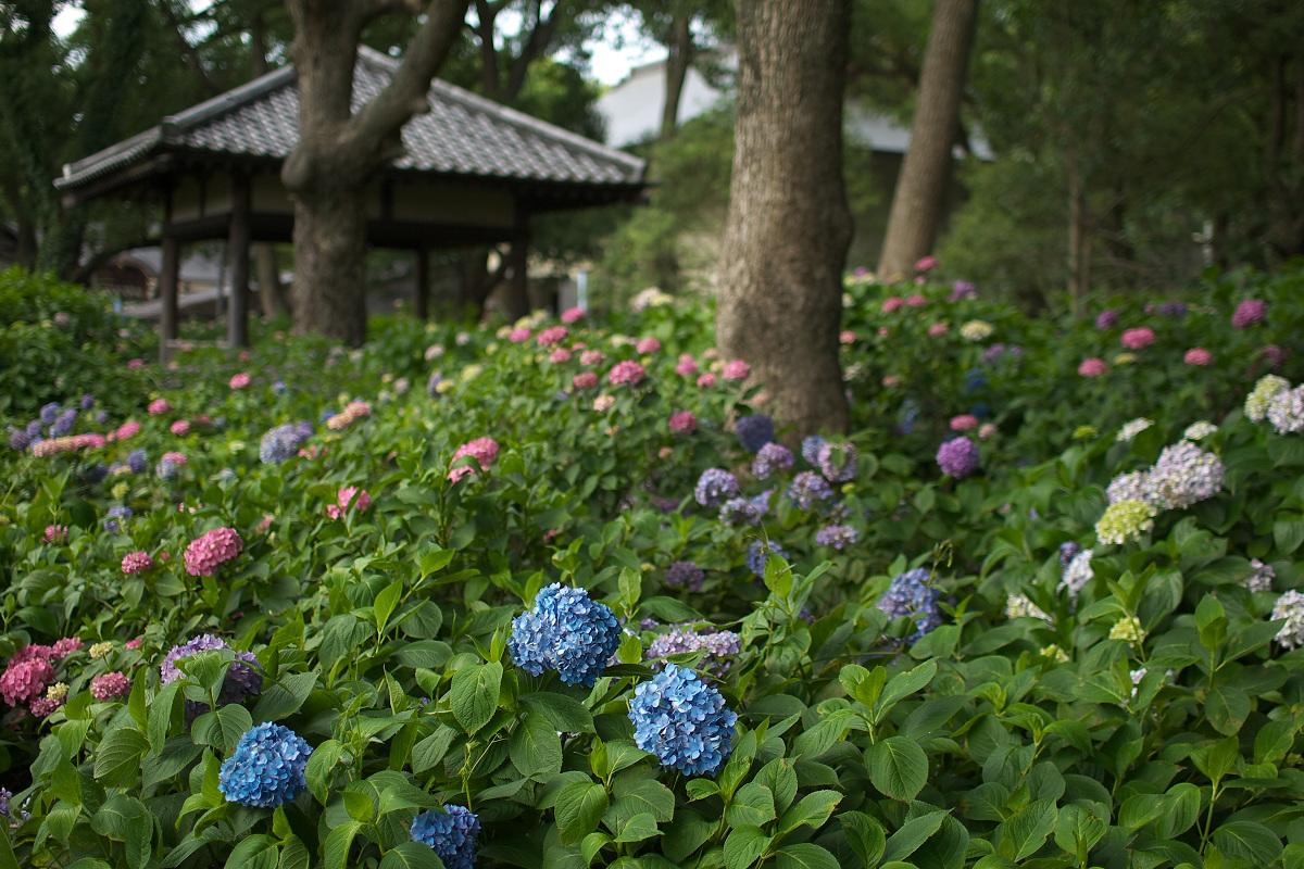 紫陽花 2013 <藤森神社> _f0021869_2330189.jpg