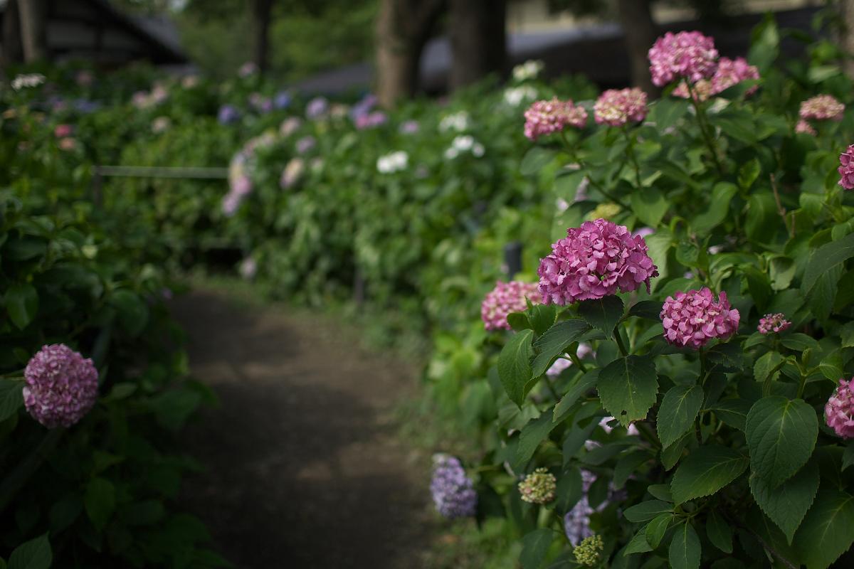 紫陽花 2013 <藤森神社> _f0021869_23311174.jpg