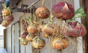 タマネギ収穫&干し_b0213795_2132897.jpg