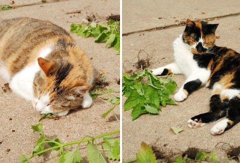 猫の媚薬_b0253205_8394572.jpg