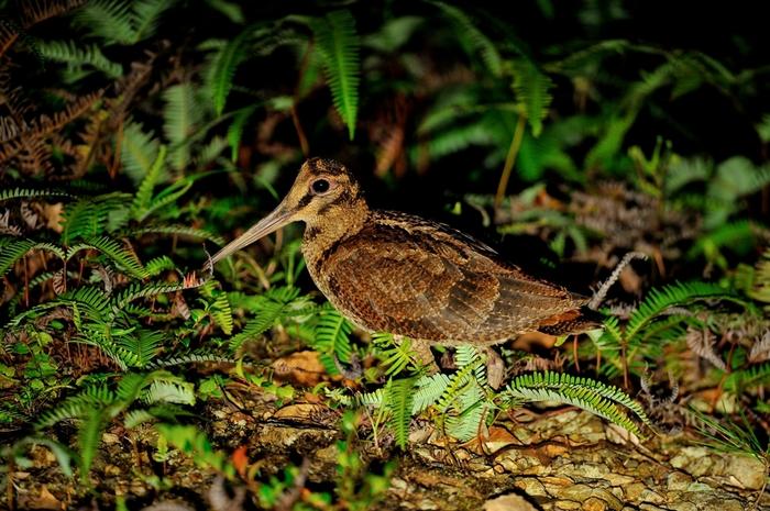 アマミヤマシギ(Amami Woodcock)~2013.06_b0148352_1342690.jpg