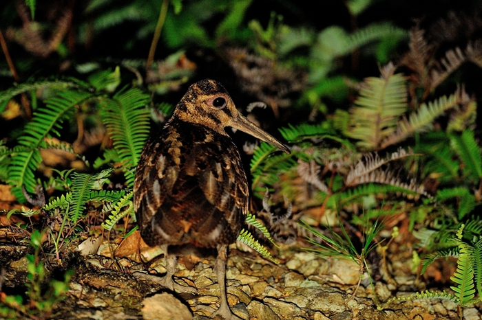 アマミヤマシギ(Amami Woodcock)~2013.06_b0148352_1363253.jpg