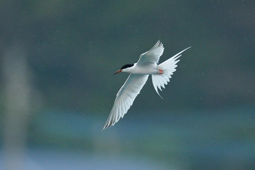 ベニアジサシ(Roseate Tern)~2013.06_b0148352_22112472.jpg