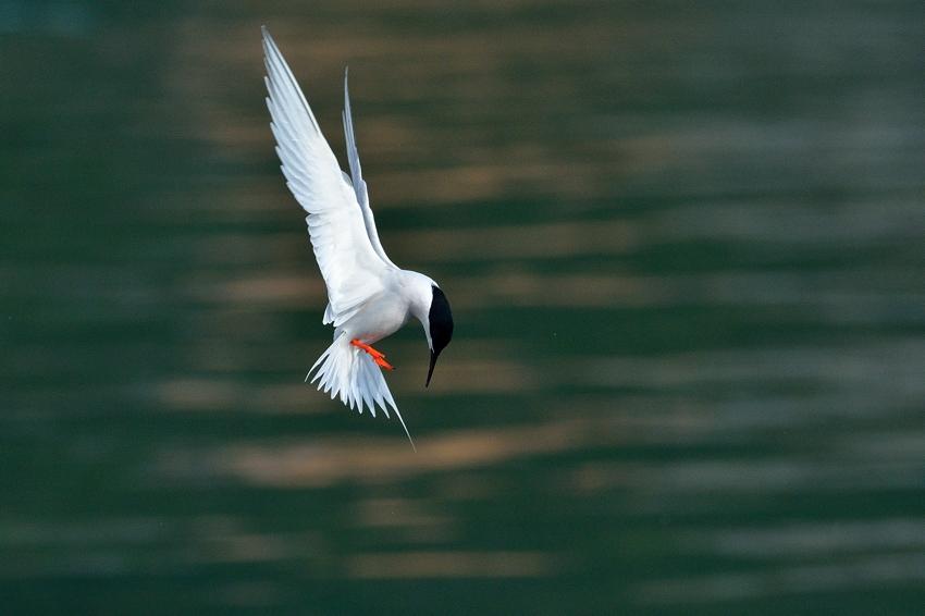 ベニアジサシ(Roseate Tern)~2013.06_b0148352_22113921.jpg