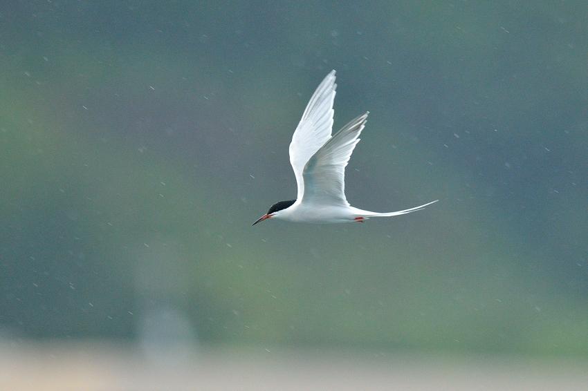 ベニアジサシ(Roseate Tern)~2013.06_b0148352_2211996.jpg