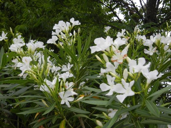 '13,6,19(水)強風と白い花!_f0060461_10194898.jpg