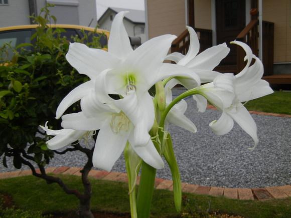 '13,6,19(水)強風と白い花!_f0060461_10202725.jpg