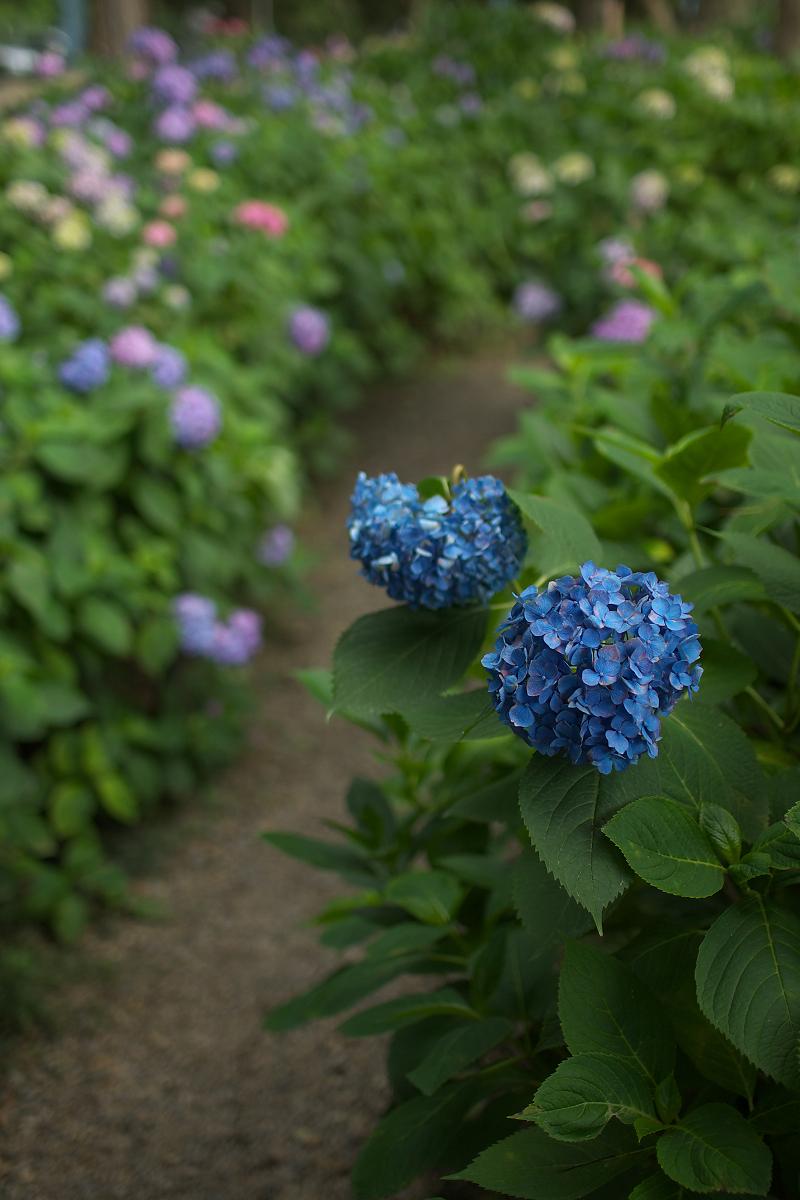 紫陽花 2013 <藤森神社>  _f0021869_21493813.jpg
