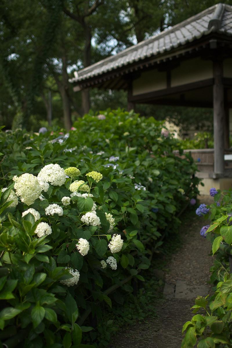 紫陽花 2013 <藤森神社>  _f0021869_21502330.jpg
