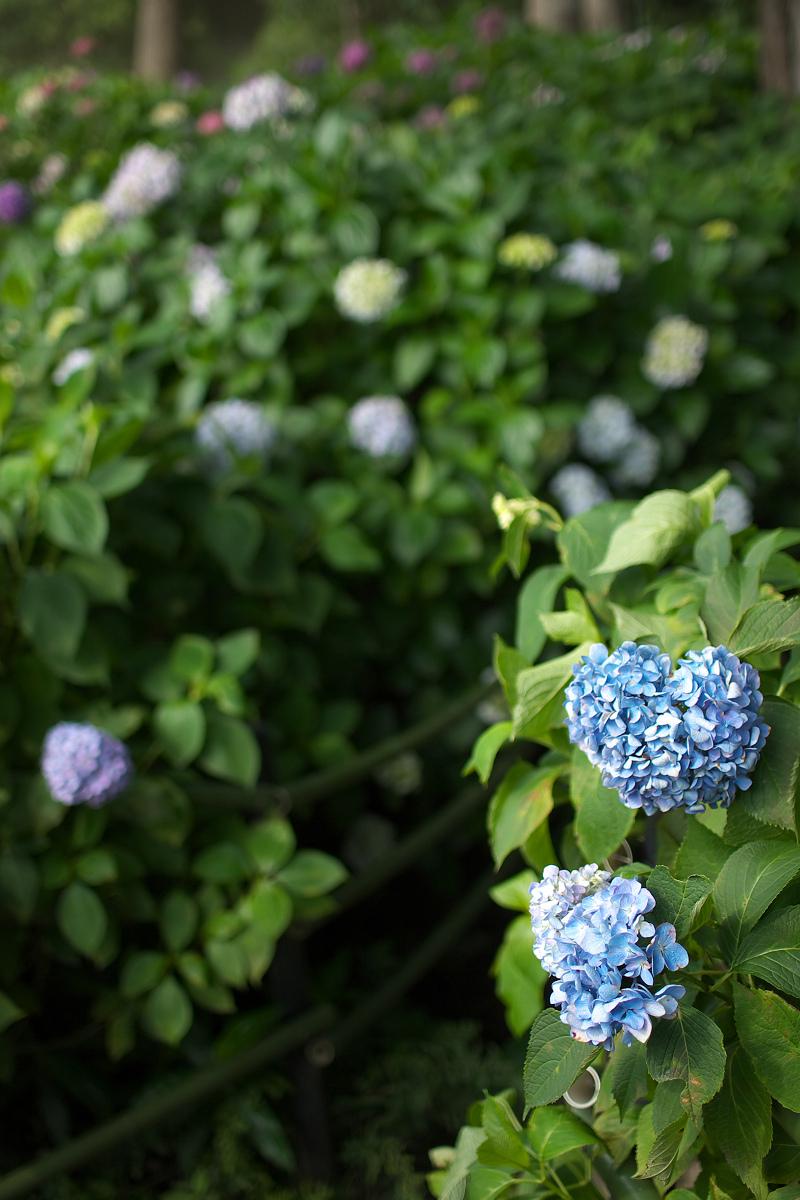 紫陽花 2013 <藤森神社>  _f0021869_21505548.jpg