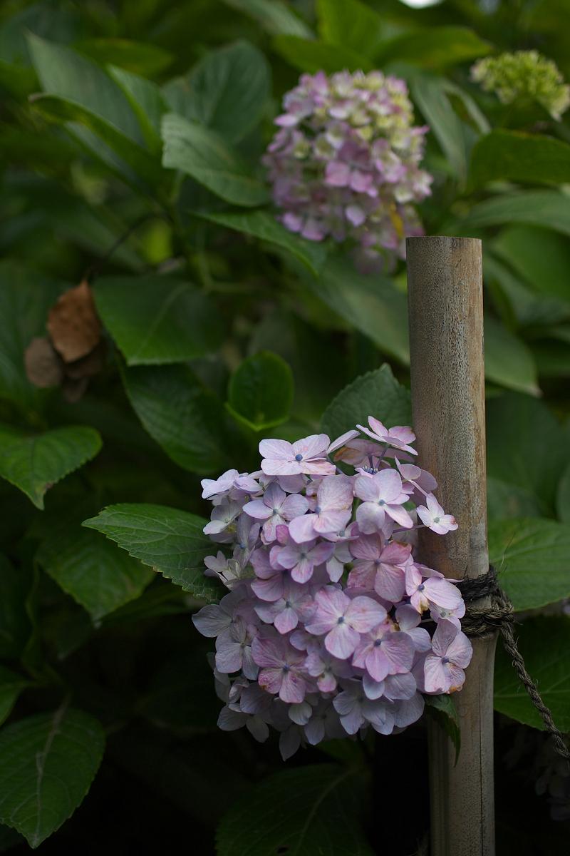 紫陽花 2013 <藤森神社>  _f0021869_21512235.jpg