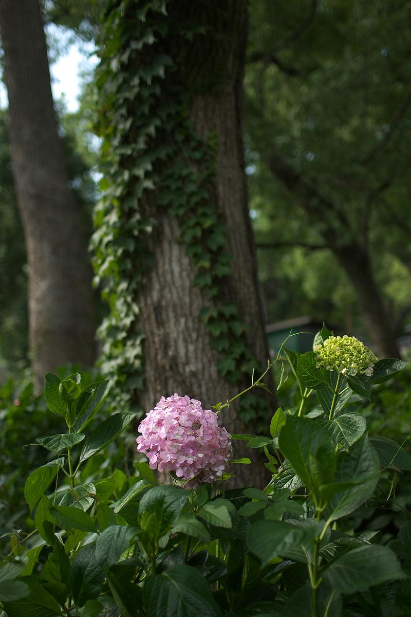 紫陽花 2013 <藤森神社>  _f0021869_21513586.jpg
