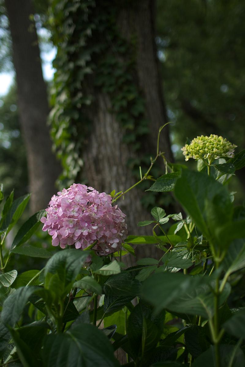 紫陽花 2013 <藤森神社>  _f0021869_21514336.jpg