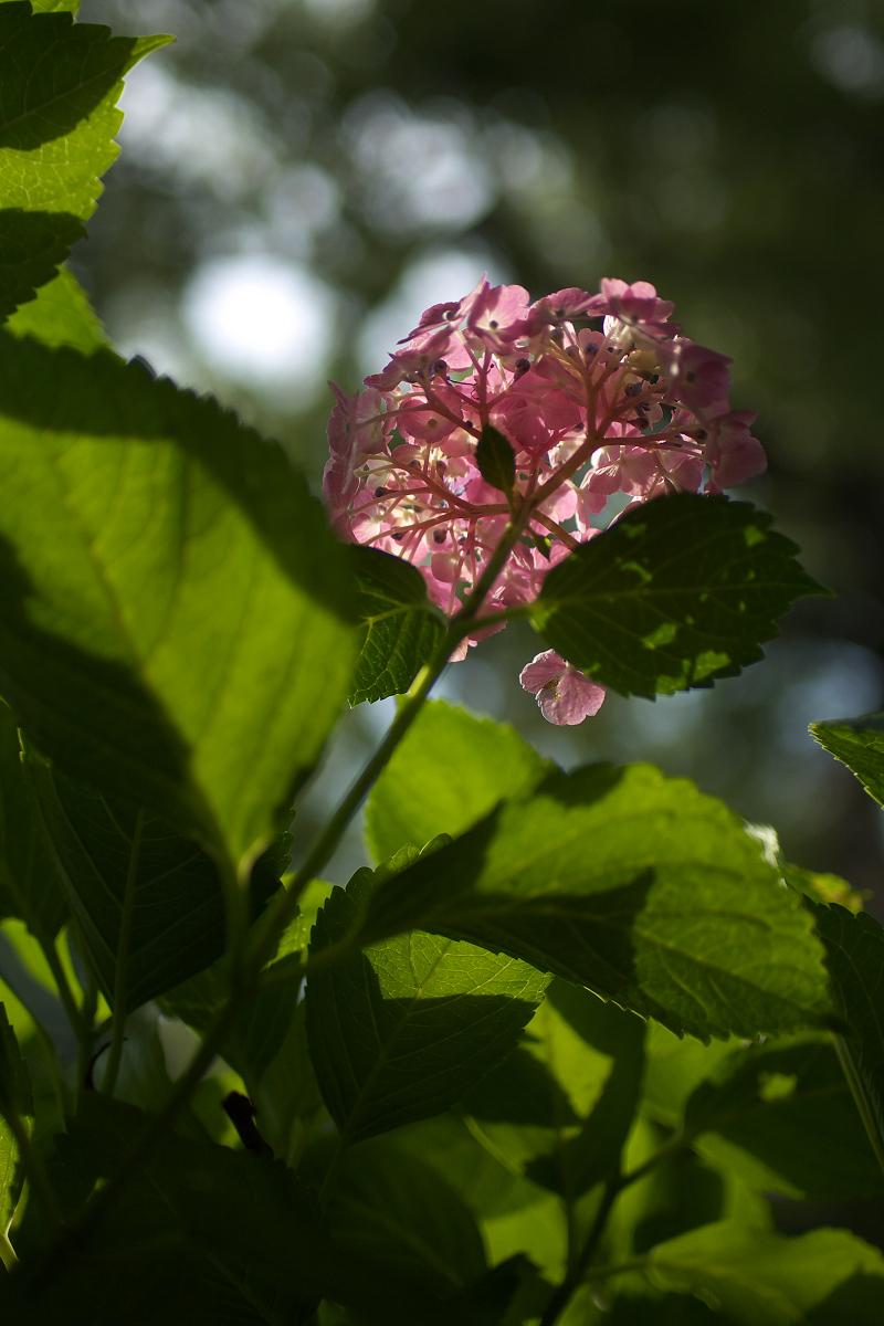 紫陽花 2013 <藤森神社>  _f0021869_21522798.jpg