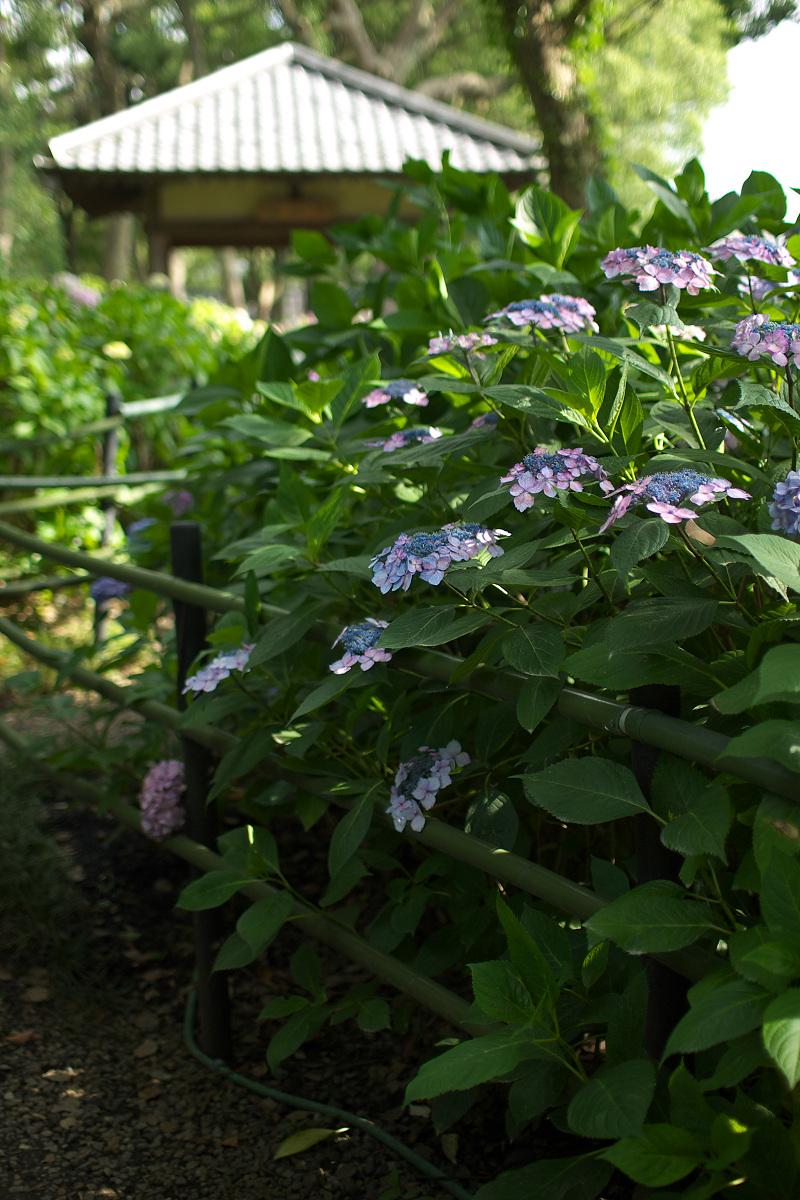 紫陽花 2013 <藤森神社>  _f0021869_2152365.jpg